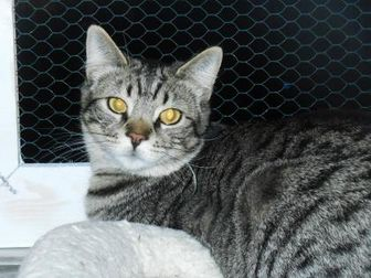 Domestic Shorthair/Domestic Shorthair Mix Cat for adoption in Whiting, Indiana - Benjie