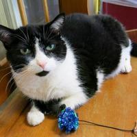 Adopt A Pet :: Velma ('Gracie') - Northbrook, IL