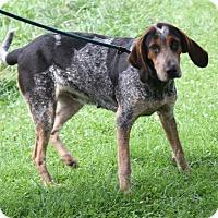 Bluetick Coonhound Mix Dog for adoption in Marietta, Ohio - Pepper (Update)