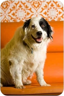 English Setter/English Springer Spaniel Mix Dog for adoption in Portland, Oregon - Ryker