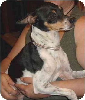 Rat Terrier Dog for adoption in Haughton, Louisiana - Bo