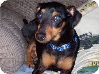Miniature Pinscher Dog for adoption in Newburgh, Indiana - Jake