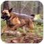 Photo 1 - German Shepherd Dog/Labrador Retriever Mix Dog for adoption in Conyers, Georgia - Titus