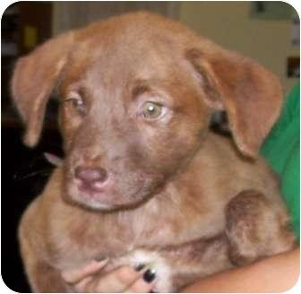 Retriever (Unknown Type)/Terrier (Unknown Type, Medium) Mix Puppy for adoption in Belvidere, Illinois - Tedros