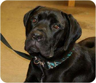 Cane Corso Puppy for adoption in Virginia Beach, Virginia - Nehra