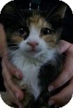 Domestic Shorthair Kitten for adoption in Franklin, Tennessee - Meridee