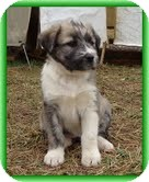 Bearded Collie Mix Puppy for adoption in Allentown, Pennsylvania - Liliana