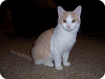 Domestic Shorthair Cat for adoption in Cincinnati, Ohio - Anson