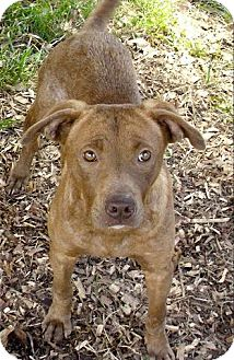 Pit Bull Terrier Mix Dog for adoption in Moulton, Alabama - Betsy