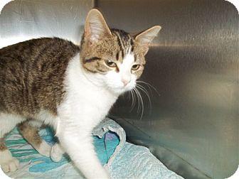Domestic Shorthair Kitten for adoption in McDonough, Georgia - Gwenievere