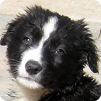 Border Collie/Australian Shepherd Mix Puppy for adoption in Oakley, California - Baby Connor
