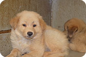 Chow Chow Mix Puppy for adoption in Henderson, North Carolina - Jerry & Joe