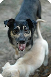 Cattle Dog/Shepherd (Unknown Type) Mix Dog for adoption in Greenfield, Wisconsin - June