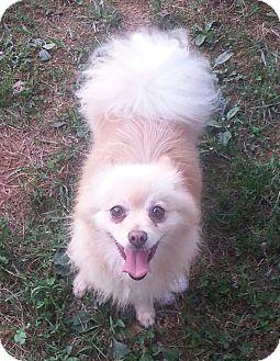 Pomeranian Dog for adoption in Russellville, Kentucky - Fancy