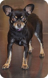 Chihuahua Dog for adoption in Bridgeton, Missouri - Tara-Adoption pending