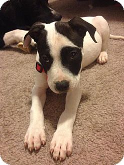 American Staffordshire Terrier Mix Puppy for adoption in Tallahassee, Florida - Dasher - in foster