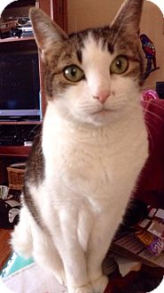 Domestic Shorthair Cat for adoption in Long Beach, New York - Peaches