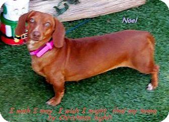 Dachshund Dog for adoption in Chandler, Arizona - Noel