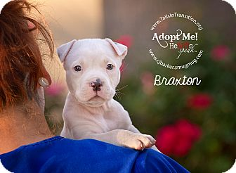 Pit Bull Terrier Mix Puppy for adoption in Friendswood, Texas - Braxton