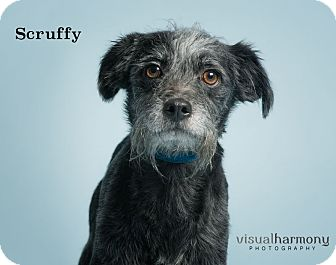 Schnauzer (Miniature)/Terrier (Unknown Type, Small) Mix Dog for adoption in Phoenix, Arizona - Scruffy