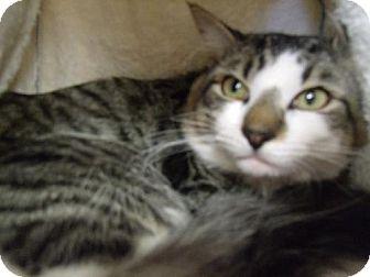 Domestic Mediumhair Cat for adoption in Orlando, Florida - Jackson