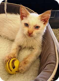 Domestic Mediumhair Kitten for adoption in Santa Ana, California - Izzy