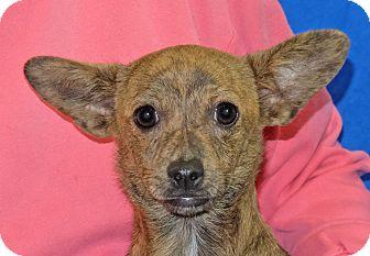 Chihuahua Mix Puppy for adoption in Spokane, Washington - Sheba