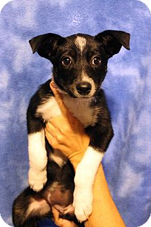 Border Collie/Australian Cattle Dog Mix Puppy for adoption in Westminster, Colorado - Winnie