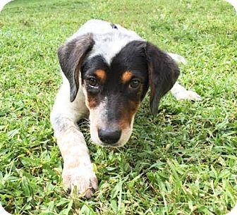 Blue Heeler Mix Puppy for adoption in Boca Raton, Florida - Maggie