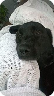 Labrador Retriever Dog for adoption in Tampa, Florida - Quinn