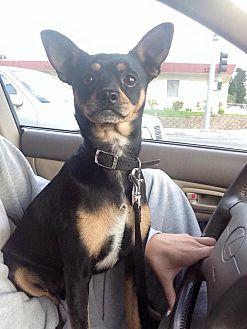 Miniature Pinscher/Chihuahua Mix Dog for adoption in Whittier, California - Buddie