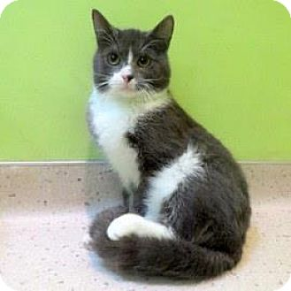 Domestic Shorthair Cat for adoption in Janesville, Wisconsin - Tommy