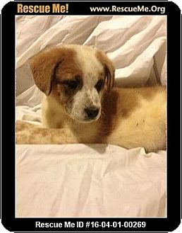 Australian Shepherd/Australian Cattle Dog Mix Puppy for adoption in Conroe, Texas - Benny