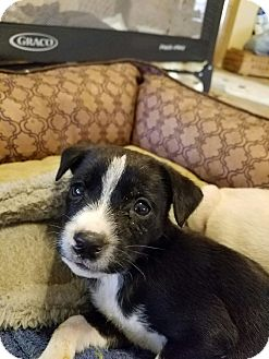 Terrier (Unknown Type, Small) Mix Puppy for adoption in San Antonio, Texas - Henry