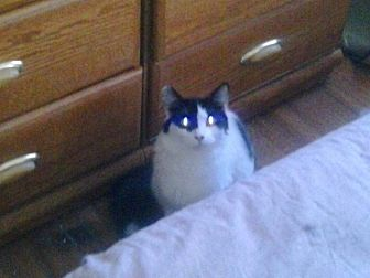 Domestic Shorthair Cat for adoption in Lancaster, California - Millie