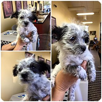 Maltese/Chihuahua Mix Puppy for adoption in Rosamond, California - Freckles