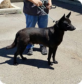 German Shepherd Dog/Border Collie Mix Dog for adoption in Gustine, California - DUKE