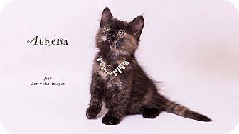 Domestic Mediumhair Kitten for adoption in Riverside, California - Athena
