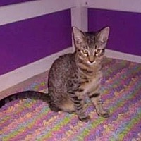 Domestic Shorthair Cat for adoption in Tampa, Florida - Dobby