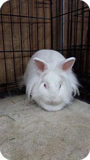 Lionhead Mix for adoption in Williston, Florida - Sia