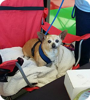 Chihuahua/Miniature Pinscher Mix Dog for adoption in Shallotte, North Carolina - Teddy