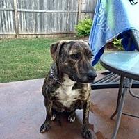 Hound (Unknown Type)/Labrador Retriever Mix Dog for adoption in Springfield, Massachusetts - Sadie