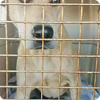 Adopt A Pet :: Benjamin - pending - Apple Valley, CA