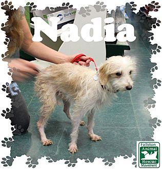 Poodle (Miniature)/Chihuahua Mix Dog for adoption in Fallston, Maryland - Nadia