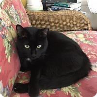 Adopt A Pet :: Figaro - Fairfax, VA