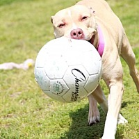 Pit Bull Terrier Mix Dog for adoption in Morganville, New Jersey - Josie