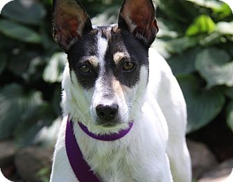 Toy Fox Terrier/Rat Terrier Mix Dog for adoption in Marietta, Ohio - Maggie (Spayed)
