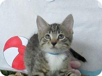 Domestic Shorthair Kitten for adoption in Lloydminster, Alberta - Dill