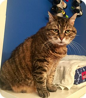 Domestic Shorthair Cat for adoption in Mount Pleasant, South Carolina - Storm