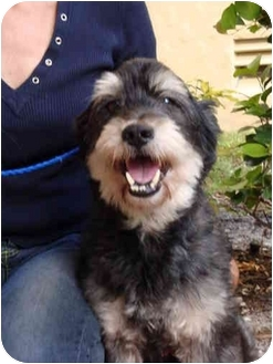 Poodle (Standard) Mix Dog for adoption in Coral Springs, Florida - Pepe